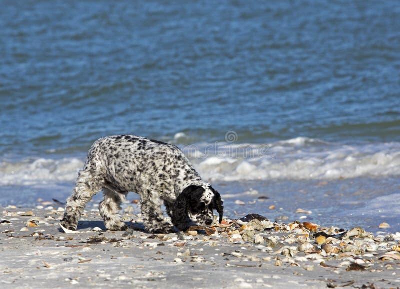 Cocker spaniel misturou o cão da raça fotos de stock royalty free