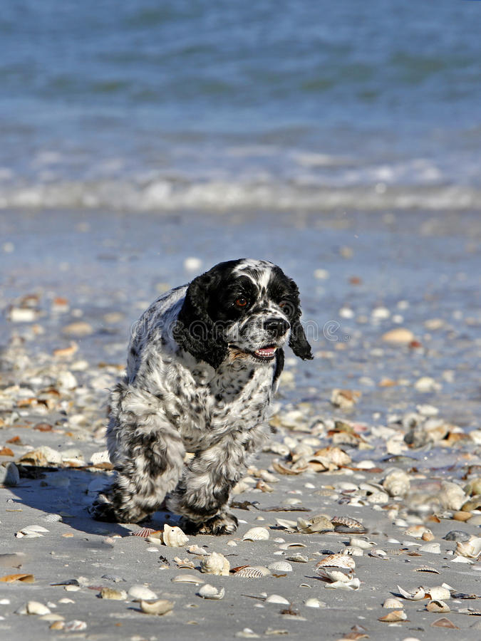 Download Cocker Spaniel Mixed Breed Dog Stock Photo - Image of beach, happy: 30393828
