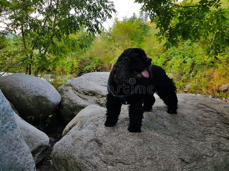 Cocker spaniel negro en las montañas imagen de archivo