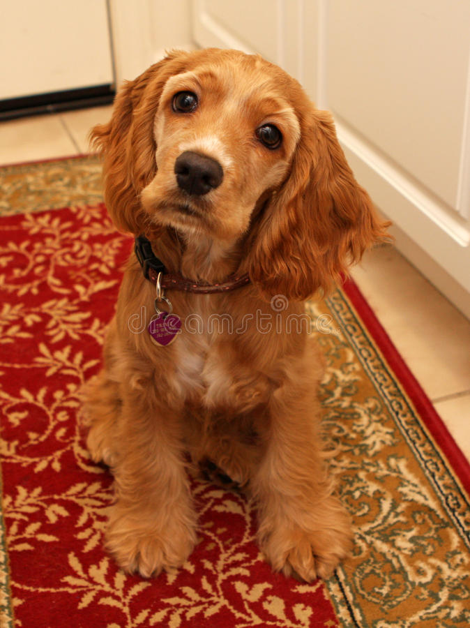 Cocker Spaniel Puppy #2 Stock Photography