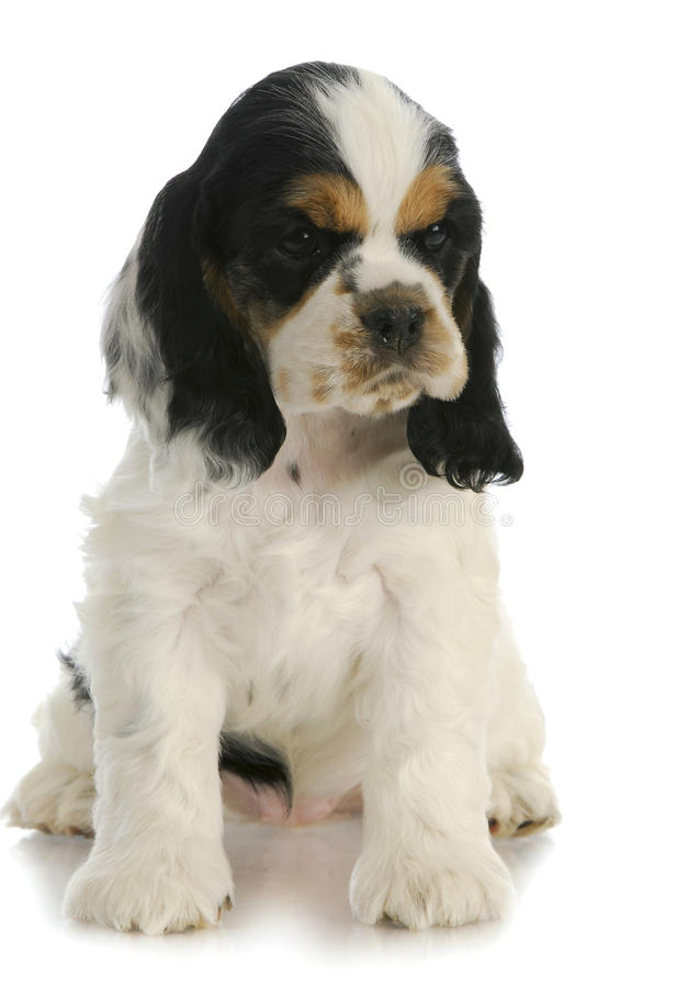 Download Cocker spaniel puppy stock image. Image of friendly, friend - 22489995
