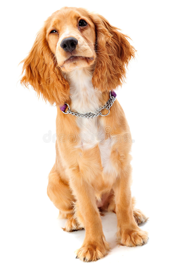 Download Cocker Spaniel Puppy Stock Photos - Image: 4514693