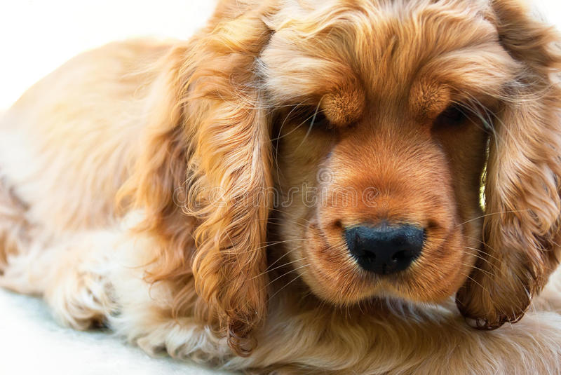 Cocker spaniel puppy angry royalty free stock photography