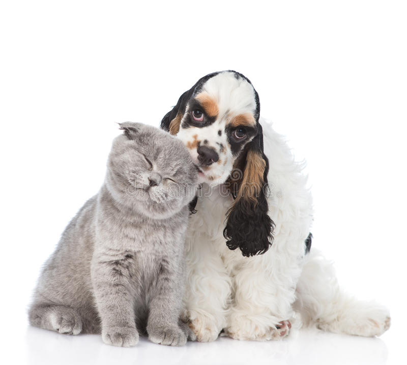Cocker Spaniel puppy licking young kitten. isolated on white stock photos