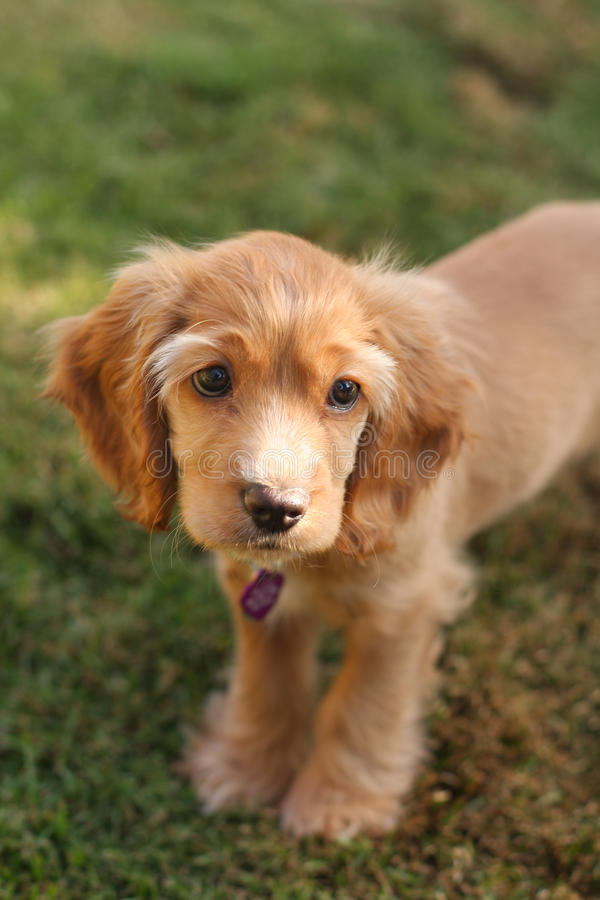 Cocker spaniel puppy in sunlight. A sad-eyed cocker spaniel puppy stands on the grass outside. She has beautiful long eyelashes stock photos