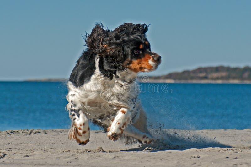 Cocker spaniel que corre en una playa fotografía de archivo