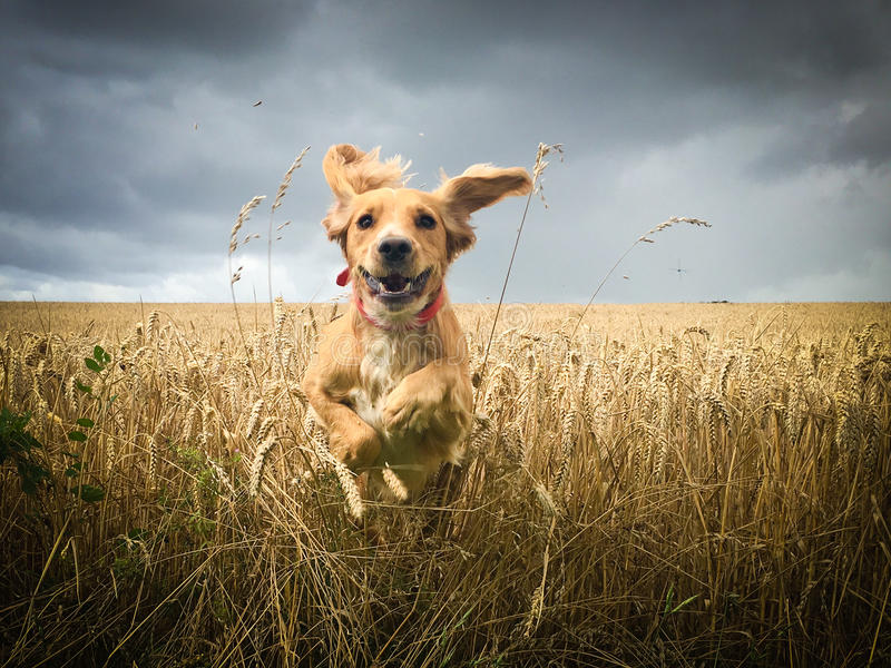 Cocker Spaniel dog running in field. Young athletic gold colored Cocker Spaniel dog with red collar bounding out of a field of wheat just before harvest, gray stock image