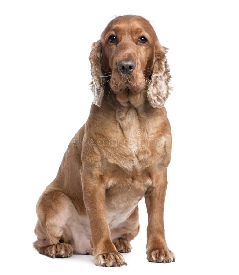 Download Cocker Spaniel Sitting (3 Years Old) Stock Image - Image: 9892281