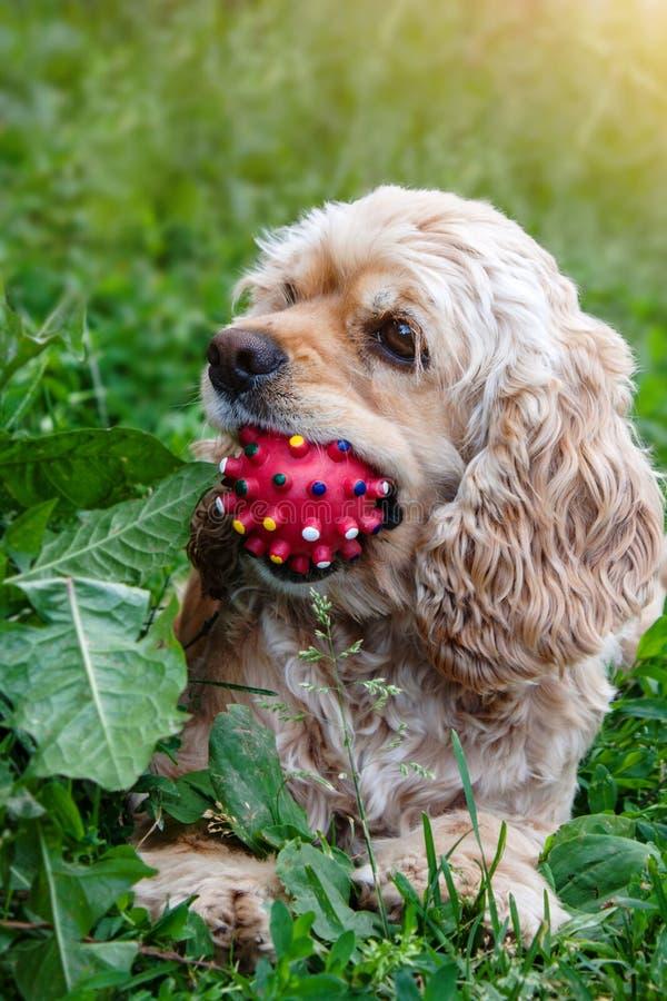 Cocker Spaniel sitzt auf Gras mit Ball im Mund Hund, der mit Ball spielt stockbilder
