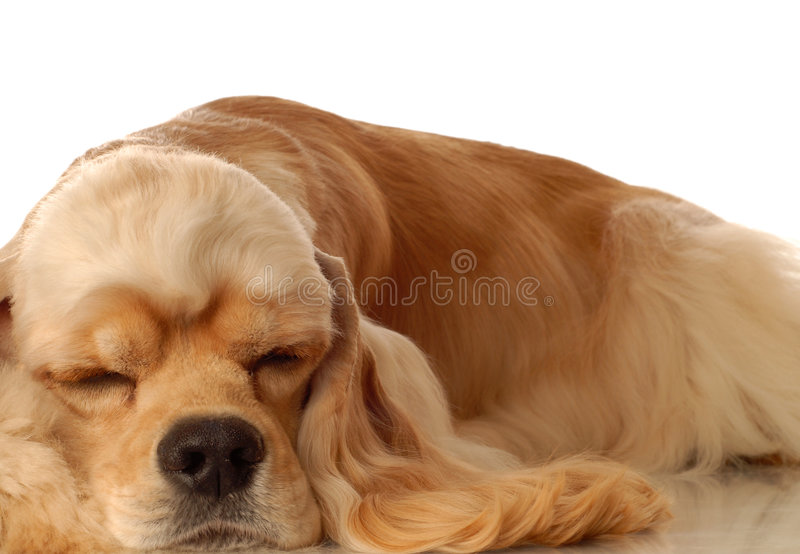 Cocker spaniel sleeping royalty free stock image