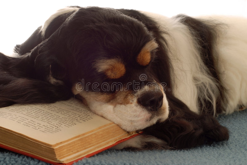 Download Cocker Spaniel Sleeping With Book Stock Image - Image: 5914007