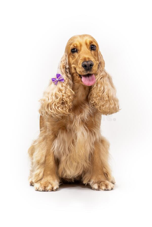 Cocker spaniel in studio over white royalty free stock photos