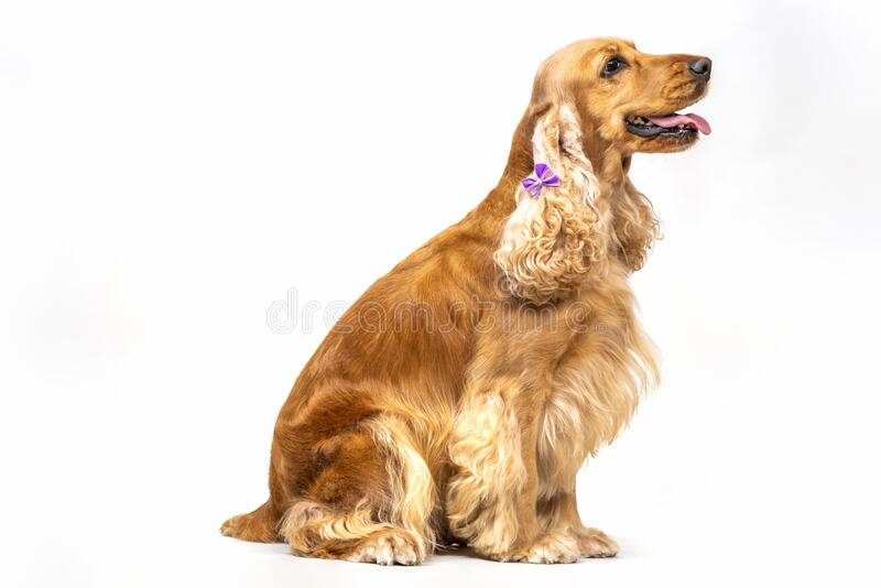 Cocker spaniel in studio over white stock photo