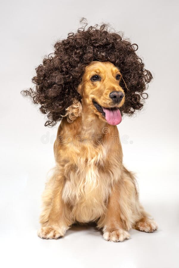 Cocker spaniel in studio over white stock photos
