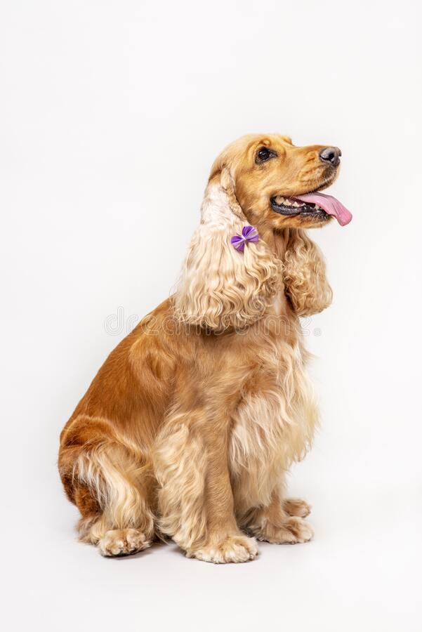 Cocker spaniel in studio over white royalty free stock images