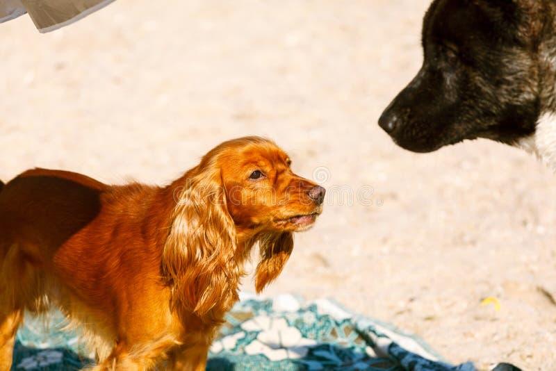 Cocker spaniel und Akita, die auf dem Strand spielen lizenzfreies stockfoto