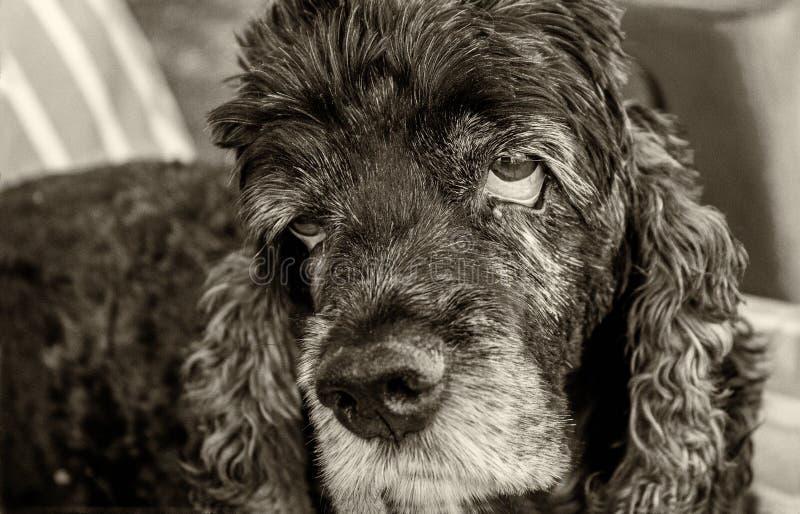 Cocker Spaniel velho e cansado com olhos tristes imagem de stock