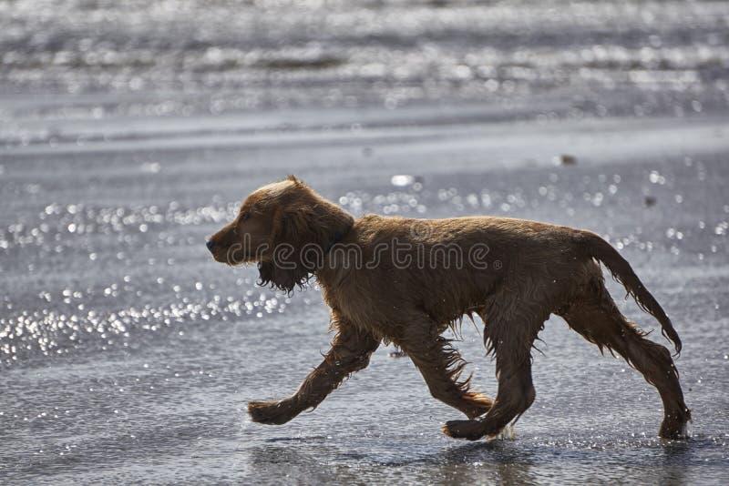 Cocker spaniel-Welpe, der auf den Strand im seichten Wasser geht stockfotografie