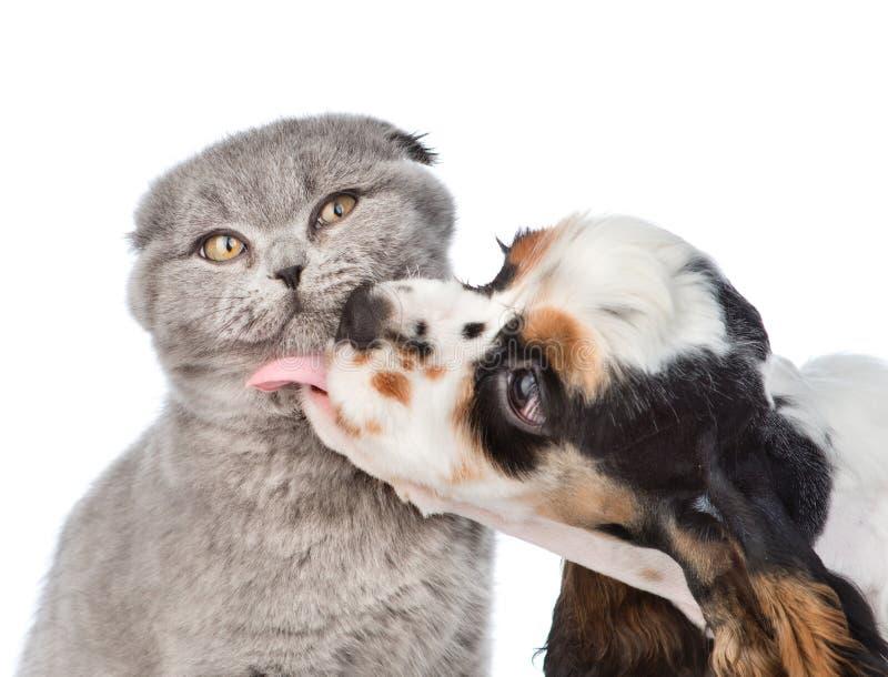 Cocker spaniel-Welpe, der Katze leckt Getrennt auf weißem Hintergrund lizenzfreies stockbild