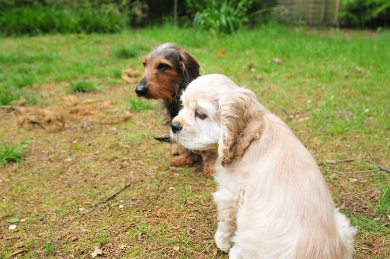 Cocker spaniel y perro basset en el jardín imagen de archivo libre de regalías