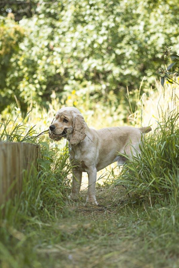 Cocker Spaniel-Zucht-Porträt Der Hund hält eine Niederlassung in seinen Zähnen Der Hund spielt lizenzfreies stockbild