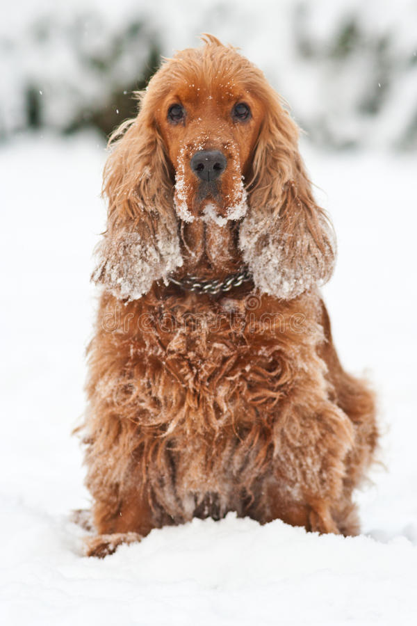 Cockerspaniel royaltyfria foton