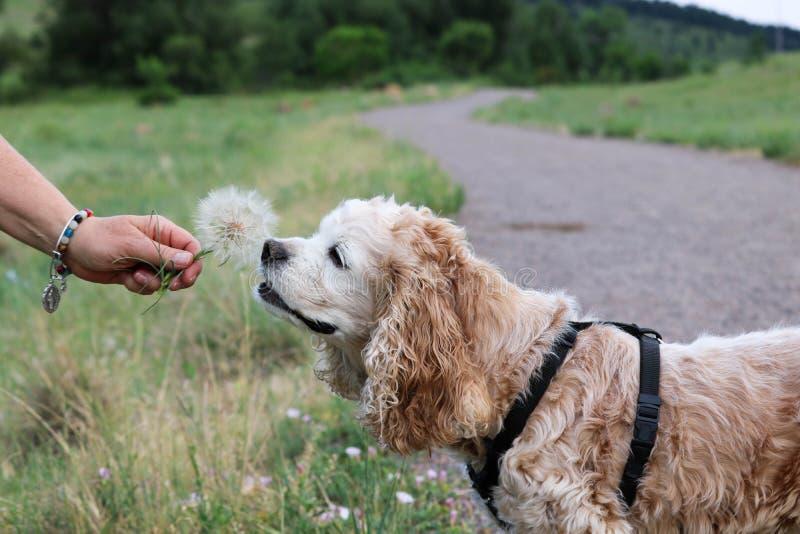 Cockerspanielhund som sniffar maskrosen royaltyfri fotografi