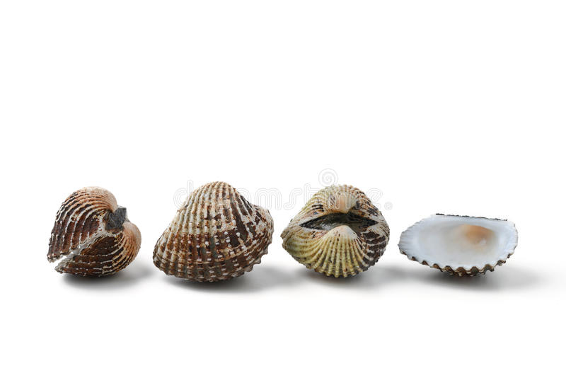 Cockle royalty free stock photo