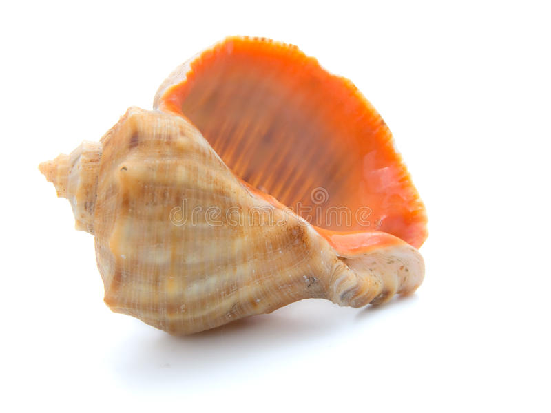 Cockle-shell foto de stock royalty free