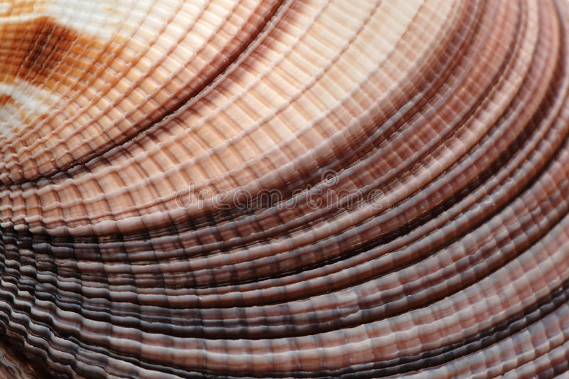 Cockle shell stock photography