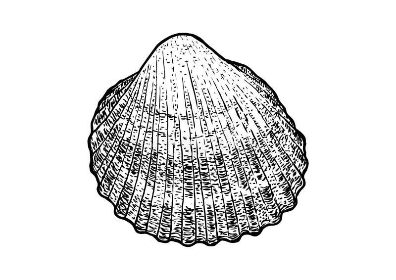 Cockle, skorupy ilustracja, rysunek, rytownictwo, atrament, realistyczny ilustracja wektor