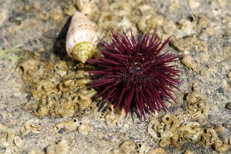 Cockleshell и пурпурный мальчишка моря на каменистом береге Средиземного моря стоковое изображение rf