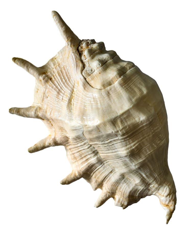 Cockleshell моря r стоковое изображение