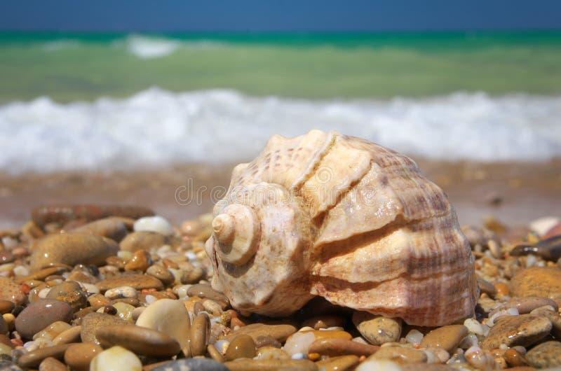 Cockleshell на береге моря стоковые фотографии rf