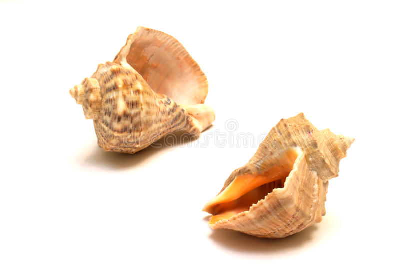 Cockleshell. Two cockleshell isolated on white background royalty free stock photos