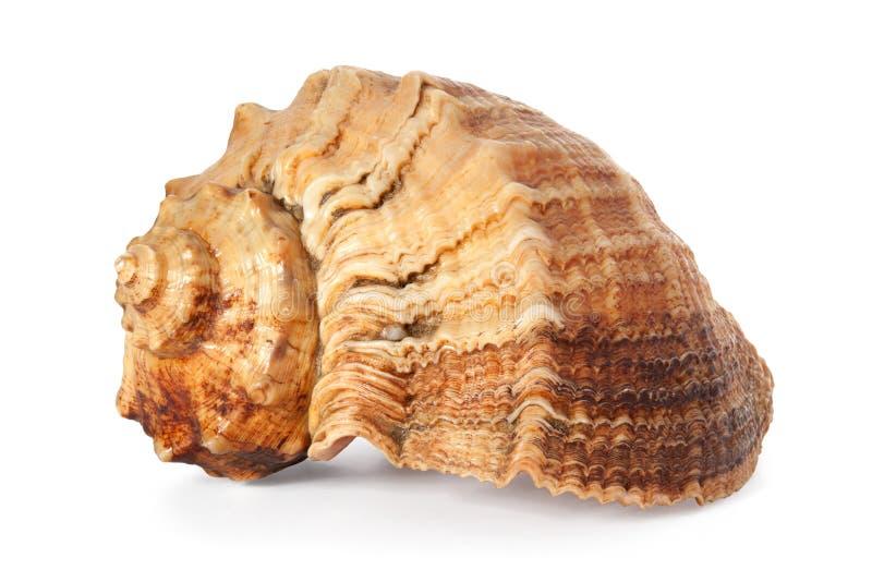 Cockleshell av Blacket Sea arkivbild