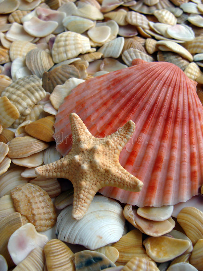 Cockleshell e stelle marine immagine stock