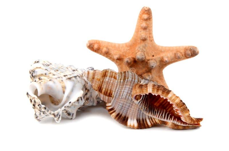 Cockleshell marino immagini stock libere da diritti