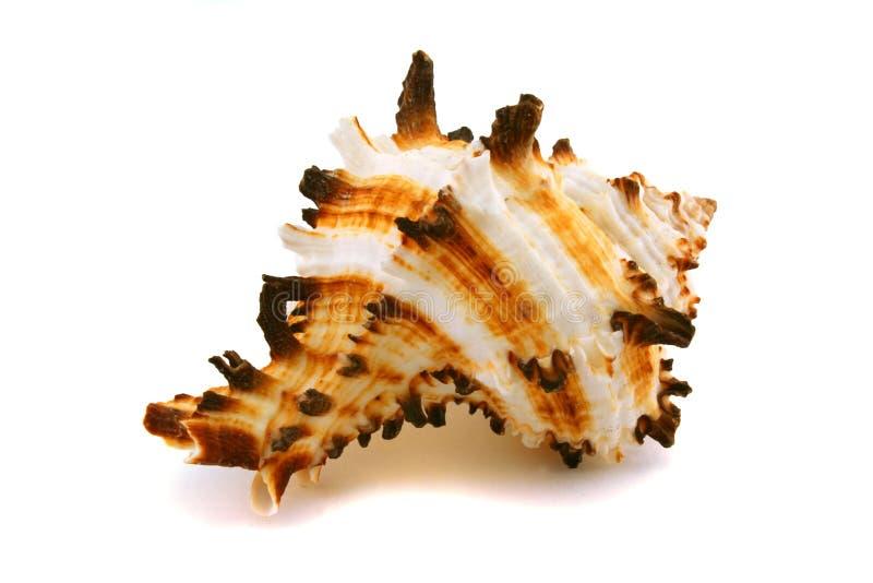 Cockleshell marino su una priorità bassa bianca fotografia stock libera da diritti
