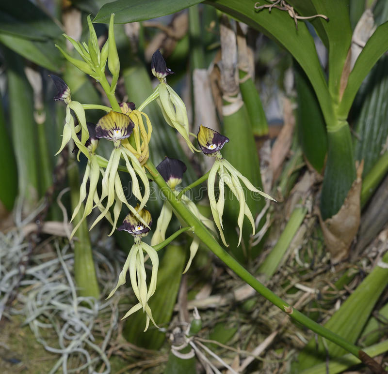 Cockleshell Orchid. Prosthechea cochleata from Central America stock photos