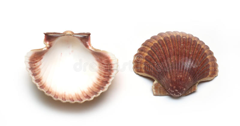 cockleshells obrazy royalty free