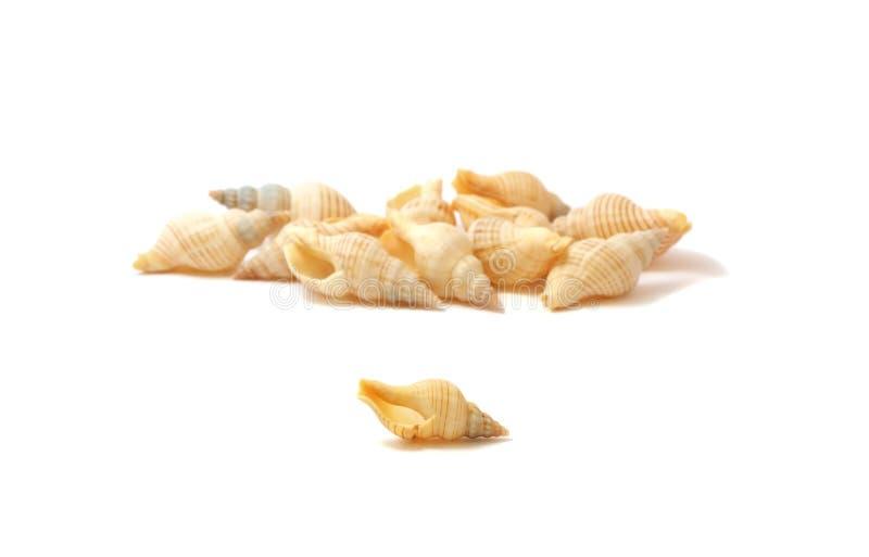 Cockleshells del mare immagini stock libere da diritti