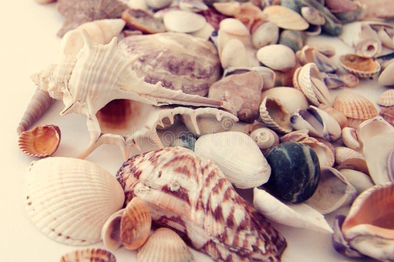 Cockleshells do mar foto de stock
