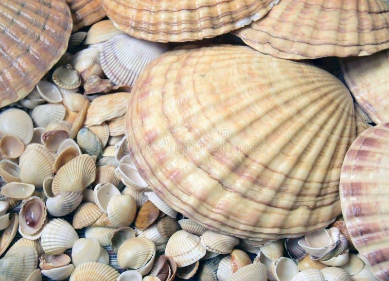 Cockleshells do mar imagem de stock royalty free