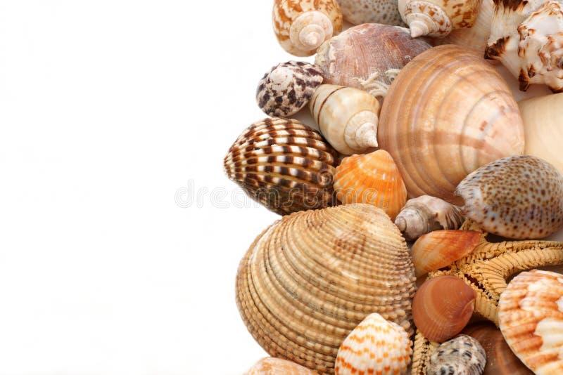 Cockleshells do mar em um fundo branco foto de stock