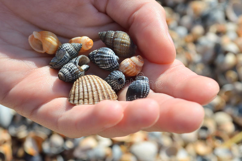 Cockleshells stock images