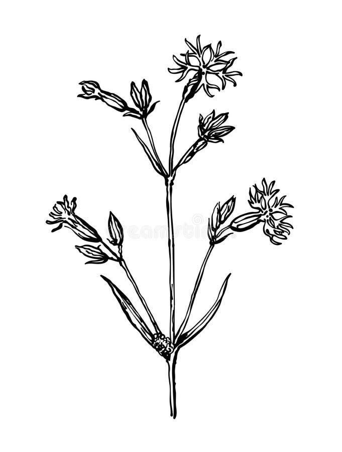 Cockooflower Installaties van droge weiden Wildflowersinzameling in overzichtsstijl voor natuurlijke, organische, gezondheidszorg royalty-vrije illustratie