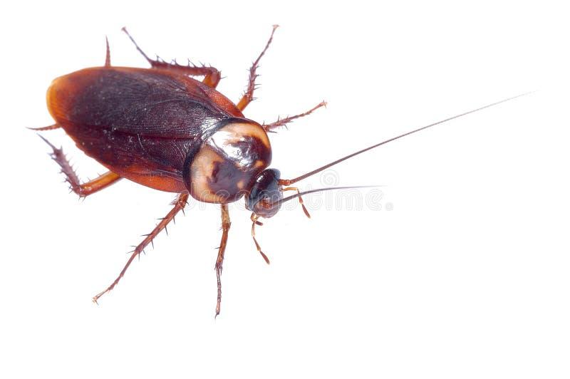 Download Cockroach stock photo. Image of macro, cockroach, details - 15652536