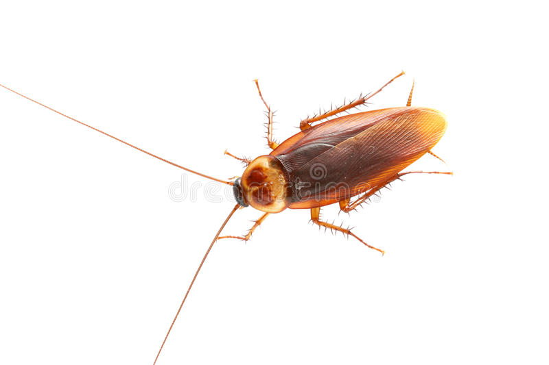Download Cockroach stock photo. Image of hairy, animal, creeping - 25643476