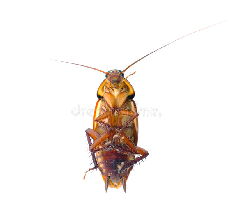 Free Cockroach Stock Photos - 25740843